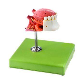 زبان و دندان
