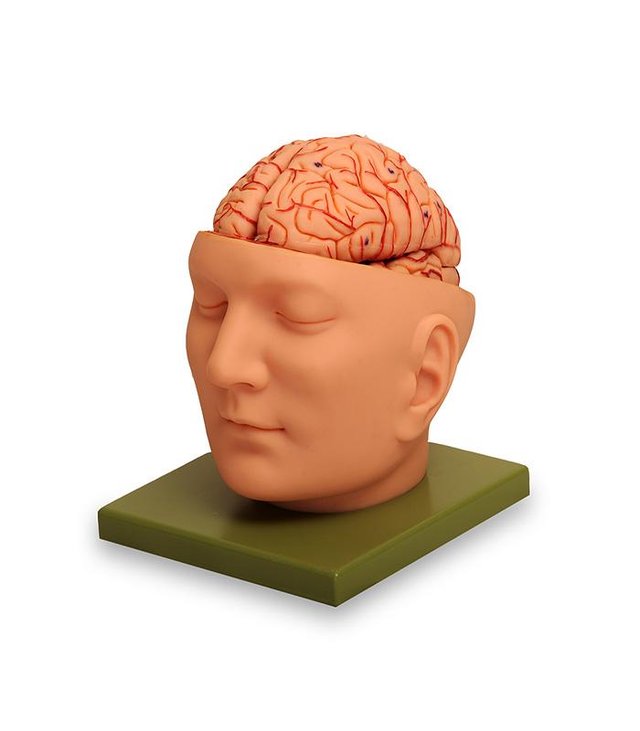 سر انسان با نمایش مغز اندازه طبیعی