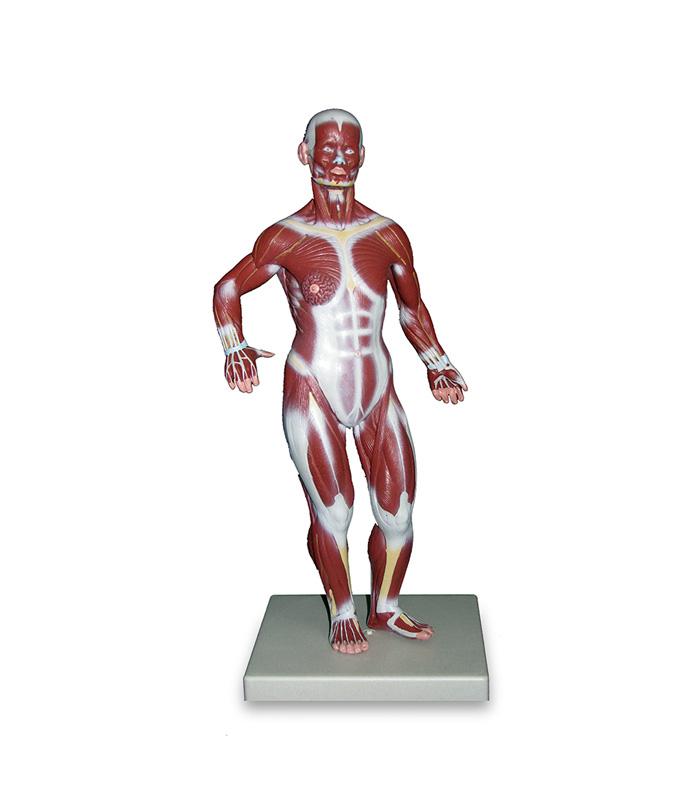 مولاژ عضلات بدن (1/3 اندازه طبیعی)